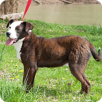 Boxer/Terrier (Unknown Type, Medium) Mix Dog for adoption in New Martinsville, West Virginia - Mr Magoo/Lucky Calvin