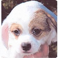 Adopt A Pet :: Brownie - RENO, NV