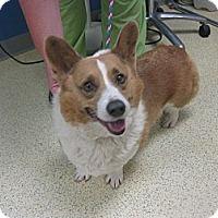 Adopt A Pet :: Daxter - Inola, OK