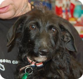 Dachshund/Miniature Poodle Mix Puppy for adoption in Brooklyn, New York - TJ
