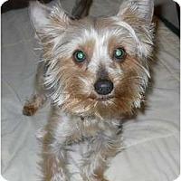 Adopt A Pet :: Casey - dewey, AZ