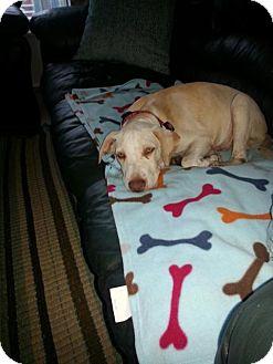 Labrador Retriever Mix Puppy for adoption in Palm Harbor, Florida - Nole