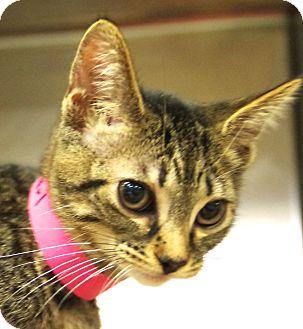 Domestic Shorthair Cat for adoption in Daytona Beach, Florida - Pearl