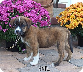Shepherd (Unknown Type)/Labrador Retriever Mix Puppy for adoption in Milford, New Jersey - Hope