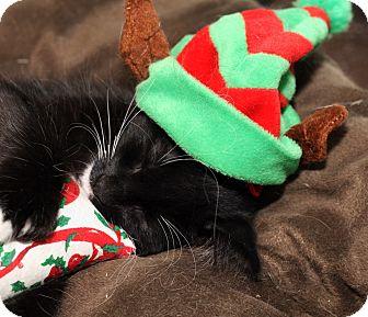 Hemingway/Polydactyl Kitten for adoption in Royal Oak, Michigan - CHIP