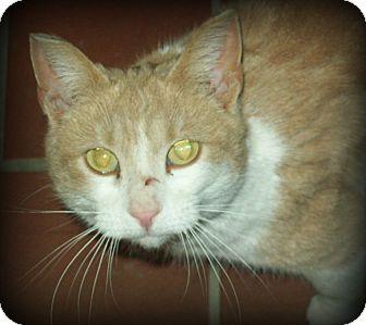 Domestic Shorthair Cat for adoption in White Cloud, Michigan - Carmel