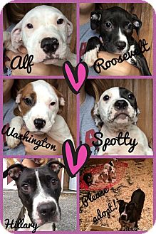 Pit Bull Terrier Mix Puppy for adoption in Poughkeepsie, New York - Spotty