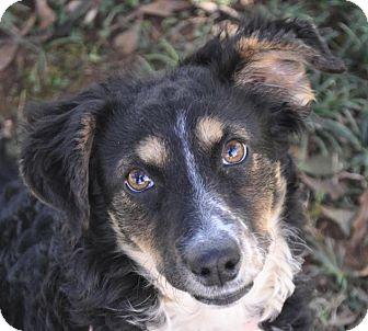 Dachshund/Sheltie, Shetland Sheepdog Mix Dog for adoption in Atlanta, Georgia - Desi