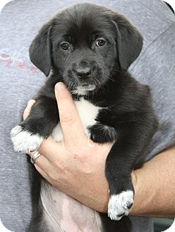 Labrador Retriever/Shepherd (Unknown Type) Mix Puppy for adoption in Hayes, Virginia - Claude