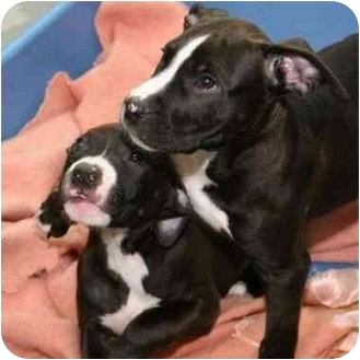 American Staffordshire Terrier Mix Puppy for adoption in Berkeley, California - Sweetpea