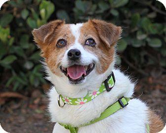 Terrier (Unknown Type, Small)/Spaniel (Unknown Type) Mix Dog for adoption in San Dimas, California - Mimi