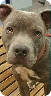 Pit Bull Terrier Mix Dog for adoption in New Smyrna Beach, Florida - Little Blue