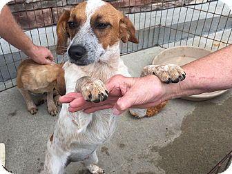 Australian Cattle Dog Mix Puppy for adoption in Hohenwald, Tennessee - Spice