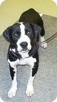 Labrador Retriever Mix Dog for adoption in Eastpoint, Florida - Shayla