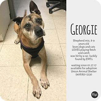 Shepherd (Unknown Type) Mix Dog for adoption in Union, New Jersey - Georgie
