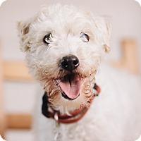 Adopt A Pet :: Griffey - Portland, OR