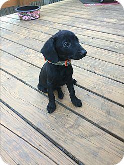 Labrador Retriever Mix Puppy for adoption in San Antonio, Texas - Lil'un