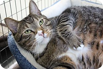 Domestic Shorthair Cat for adoption in Medfield, Massachusetts - Fritz