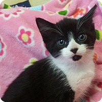 Domestic Shorthair Kitten for adoption in Berlin, Connecticut - Buddy