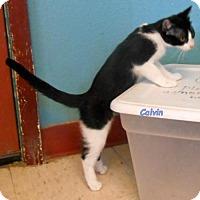 Adopt A Pet :: Calvin - Oskaloosa, IA
