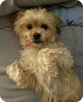 "Poodle (Miniature)/Shih Tzu Mix Dog for adoption in Seattle, Washington - ""Cookie"""