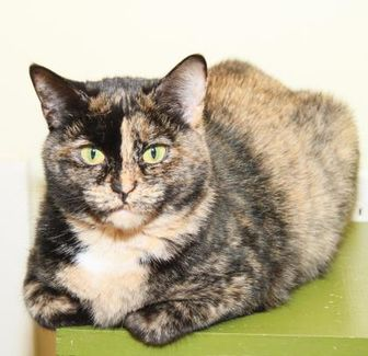 Domestic Shorthair/Domestic Shorthair Mix Cat for adoption in Greensboro, Georgia - Cupcake