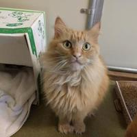 Adopt A Pet :: Tigger - Bedford, NH