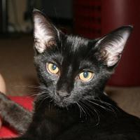 Adopt A Pet :: Houdini - Richmond, VA