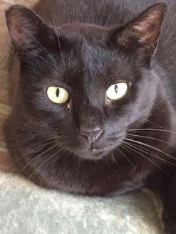 Domestic Shorthair/Domestic Shorthair Mix Cat for adoption in Chambersburg, Pennsylvania - Jackson