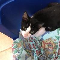 Adopt A Pet :: Napoleon - Miami, FL
