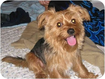 Yorkie, Yorkshire Terrier Mix Dog for adoption in Powell, Ohio - Toby