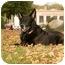 Photo 1 - German Shepherd Dog Dog for adoption in Wayland, Massachusetts - Angel