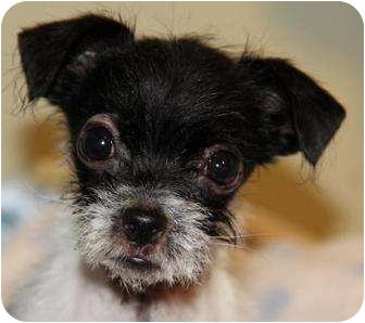 Shih Tzu/Terrier (Unknown Type, Small) Mix Puppy for adoption in San Pedro, California - Hudson