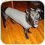 Photo 2 - Labrador Retriever/American Pit Bull Terrier Mix Dog for adoption in Chicago, Illinois - Jasper