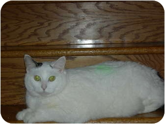 Domestic Shorthair Cat for adoption in Orland Park, Illinois - Princess
