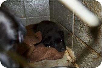 Retriever (Unknown Type) Mix Puppy for adoption in Henderson, North Carolina - M puppies