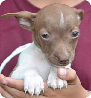 Chihuahua Mix Puppy for adoption in Allentown, Pennsylvania - Tiny