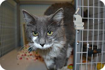 Domestic Mediumhair Cat for adoption in Edwardsville, Illinois - Merry