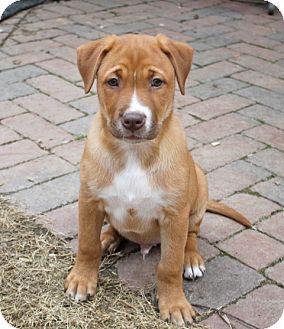 Labrador Retriever/Terrier (Unknown Type, Medium) Mix Puppy for adoption in Marietta, Georgia - Leo