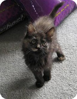 Domestic Longhair Kitten for adoption in Kirkwood, Delaware - Beauty