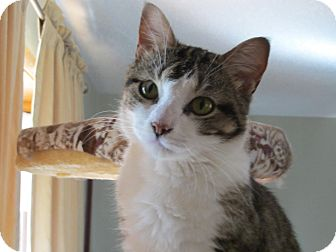 Domestic Shorthair Cat for adoption in Des Moines, Iowa - Anna