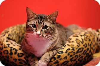 Domestic Shorthair Cat for adoption in Topeka, Kansas - Brenna