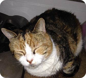 Calico Cat for adoption in Horsham, Pennsylvania - Shiloh