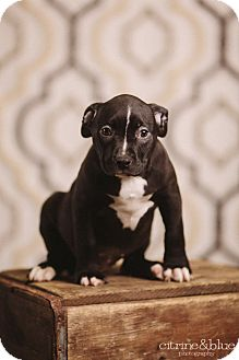 Pit Bull Terrier Mix Puppy for adoption in Portland, Oregon - Bisque