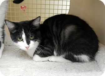 Domestic Shorthair Cat for adoption in Troy, Michigan - Pogo