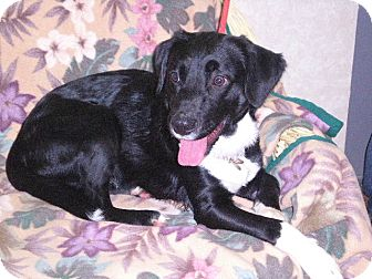 """Border Collie Mix Dog for adoption in New Castle, Pennsylvania - """" Marty """""""