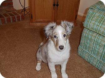 Sheltie, Shetland Sheepdog Puppy for adoption in Littleton, Colorado - Sophia