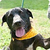 Adopt A Pet :: Shiloh - Houston, TX
