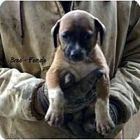 Adopt A Pet :: Bree - New Boston, NH