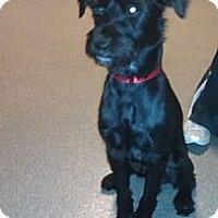 Adopt A Pet :: Gibson - Phoenix, AZ